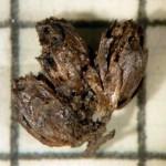 Meadowsweet flower heads found in Bronze Age burial