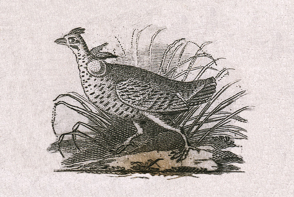 John James Audubon's first published illustration, a small grouse running