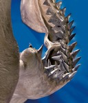 Detail of Megalodon teeth
