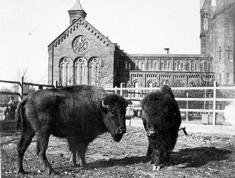 Bison living in a paddock behind Smithsonian Castle, 1887-1889