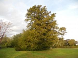 Wakehurst Place yew, b. 1391