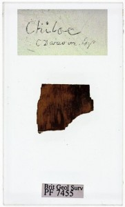 Fossil wood Darwin collected on the Island of Chiloe, Chile in 1834