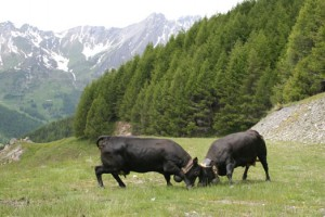 Cows establishing hierarchy during Spring in the Alps