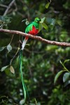 Resplendant Quetzal