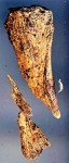 Possible human finger bone fragment found on Nikumaroro in 2010
