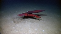 Little Hercules spies squids mating on April 21