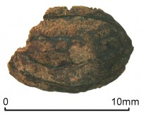 Iron Age olive pit found in Silchester