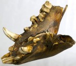 Lower jaw of a long-legged black boar