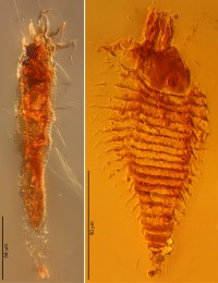 Gall mites in 230-million-year-old amber droplets