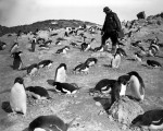 Herbert Ponting recording penguins