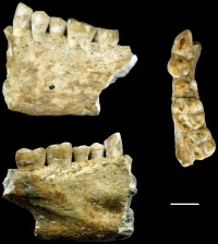 The Lonche jaw from a karstic cave of southern Slovenia, about 6500 years old, scale bar 10 mm