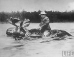 Theodore Roosevelt riding a bull moose