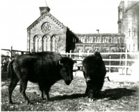 Bison behind the Smithsonian Castle ca. 1886-1889