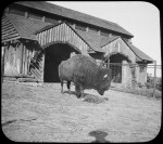 Bison standing in front of the Buffalo Barn at the National Zoo, ca. 1895