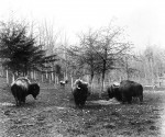 Group of bison standing in paddock near first National Zoological Park Building, a house for the bison and elk. An elk is visible in his paddock in the distance. Photograph by C.M. Bell 1891