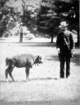 Hornaday with bison calf Sandy at Smithsonian, 1886