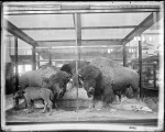 Taxidermy bison group by William Hornaday in the Smithsonian, 1887