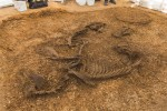 Pocklington horse and chariot burial, horses in the foreground. Photo by David Wilson.