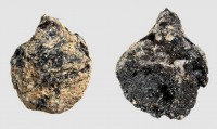 Denmark's earliest grape seeds, ca. 550-980 A.D. Photo courtesy Peter Steen Henriksen.