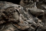 Nodosaur sees what you did there. Photo by Robert Clark for National Geographic.