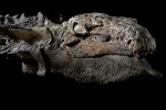 The right side of nodosaur's head. Photo by Robert Clark for National Geographic.