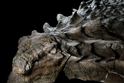 Nodosaur fossil discovered in Alberta bitumen pit in 2011, about 110-112 million years old. Photo by Robert Clark for National Geographic.